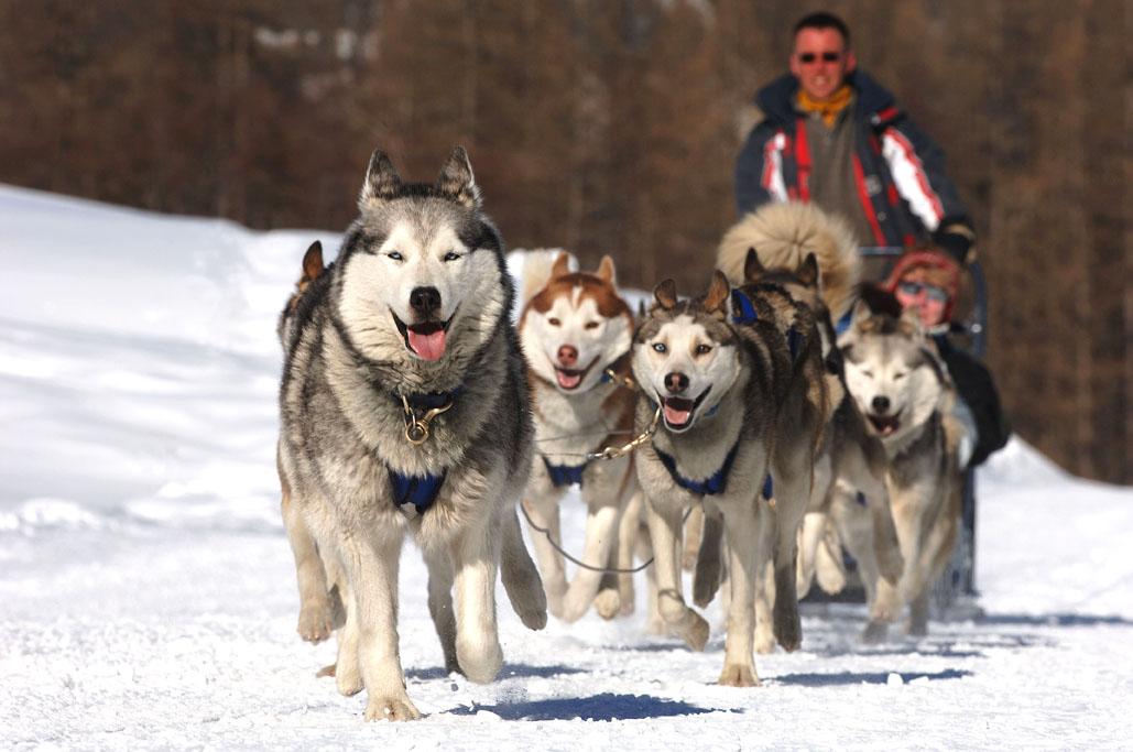 Et si on testait les chiens de tra neau cet hiver - Coloriage chien de traineau ...