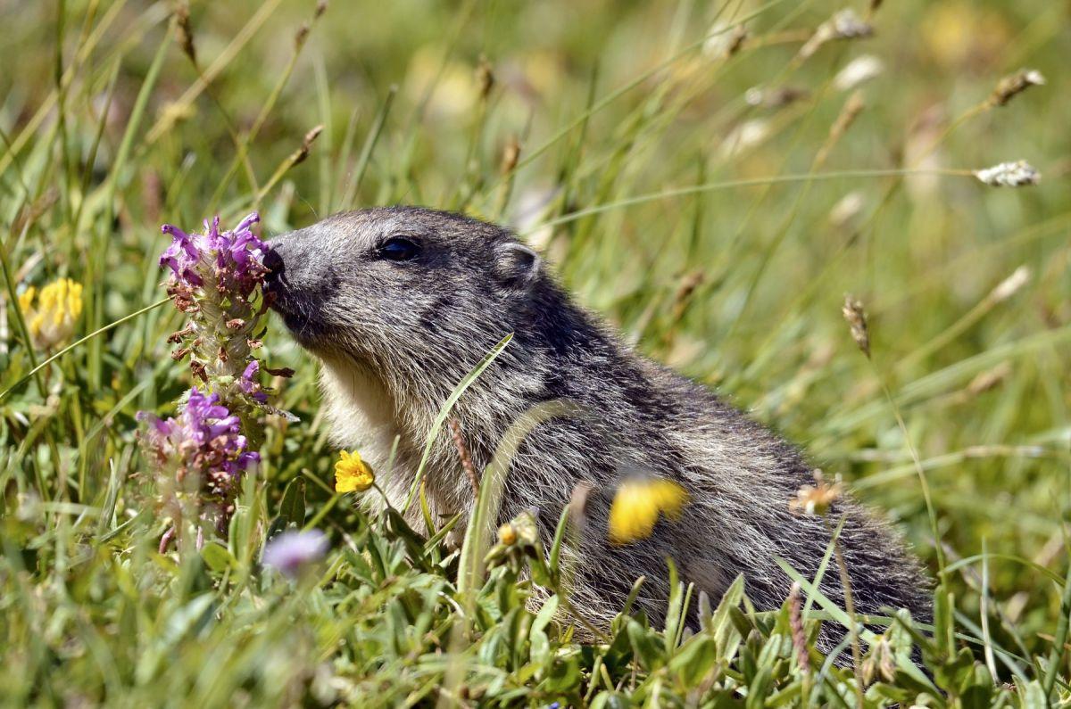 """Résultat de recherche d'images pour """"marmottes"""""""