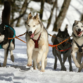 Of Sled Dogs Tracks